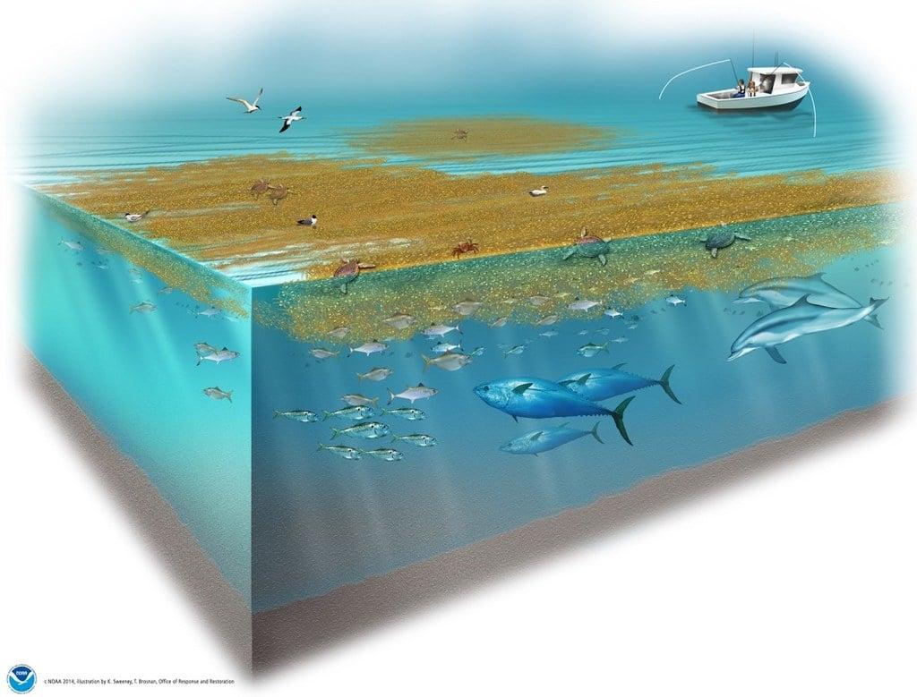 Sargassum and fish in a marine ecosystem