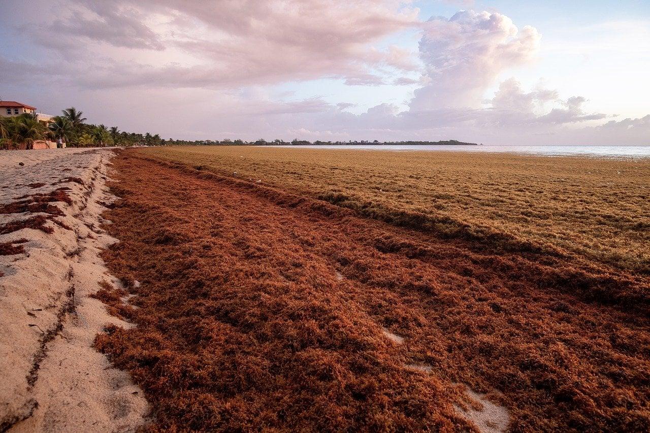 A beach covered in sargassum seaweed