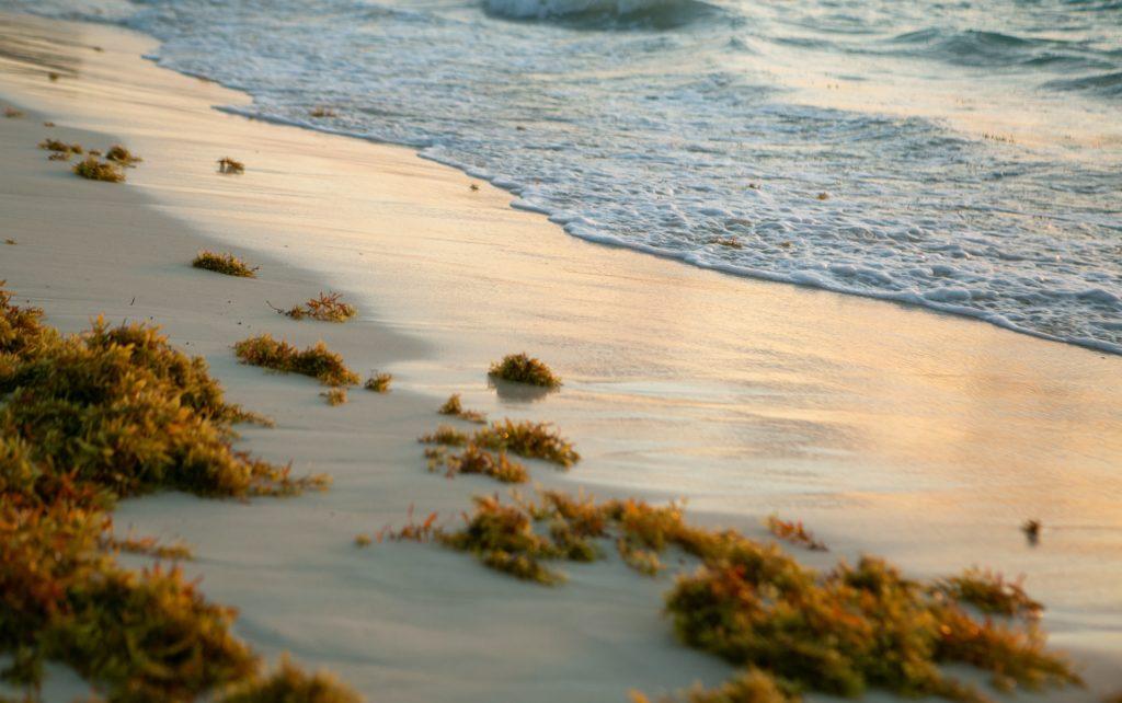 Sargassum on a beach in the Florida Keys