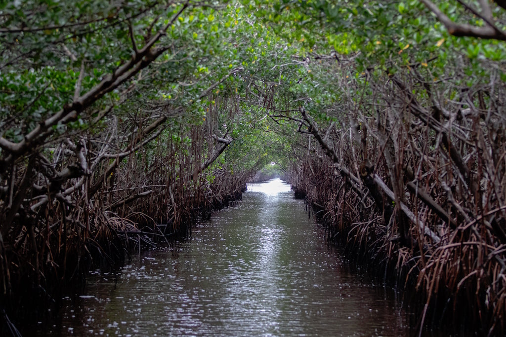 Kayaking in the Florida Everglades mangrove tunnel tour