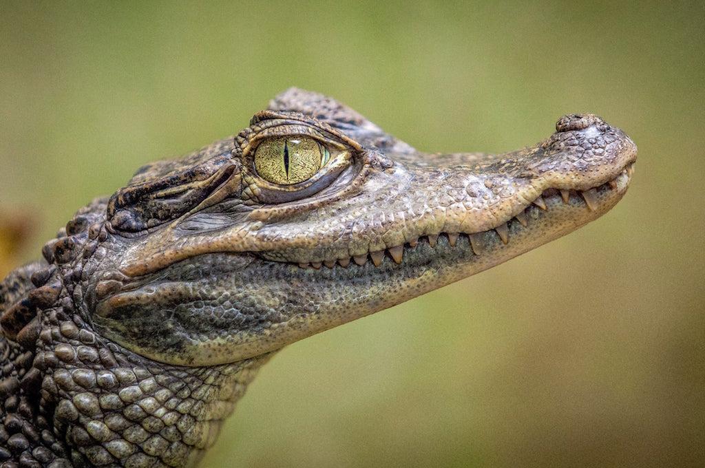 Seeing an alligator in Florida