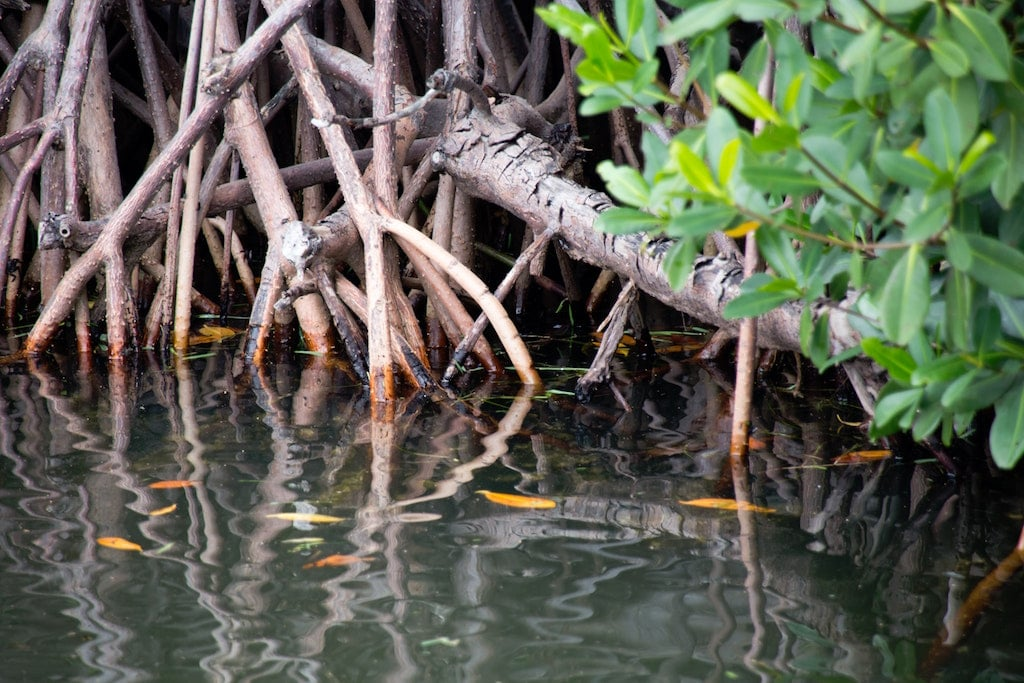 Mangroves in the Florida Keys are great places to kayak, especially through mangrove tunnels.